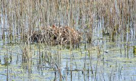 Bird nest in a pond stock photography