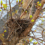 Bird nest for rent. Empty bird nest with new tree leaf buds coming in Royalty Free Stock Photo