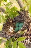 Bird nest. Robin's bird nest with four blue eggs Royalty Free Stock Photos