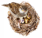 Bird and a nest Royalty Free Stock Photography