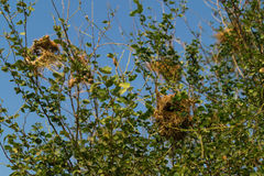 Bird nest at the tree. Royalty Free Stock Images