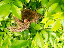 Bird nest on tree branch with cute brown eggs inside Stock Photos