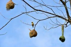 Bird Nest on a tree Stock Image