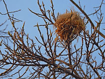 Bird nest tree. Stock Images