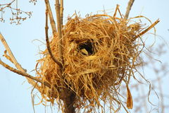 Bird nest. By the bird, between the twigs above the tree, made the grass nest. inside the nest, the eyes of the children of the birds are glowing royalty free stock photos