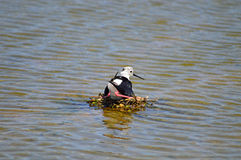 A Bird On A Nest In The Water Royalty Free Stock Image