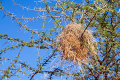 Bird nest of weaver Stock Image