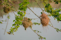Bird nest of weaver in an african acacia tree Stock Photography