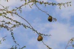 Bird nest of weaver in an african acacia tree Stock Photos