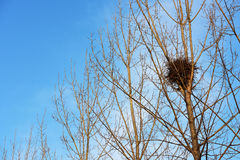 Bird nest on white branches with sunshine and blue sky Royalty Free Stock Photo