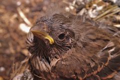 Bird in the nest. Young baby bird in the nest ready to fly Royalty Free Stock Photos