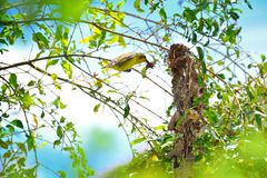 Bird nesting Royalty Free Stock Photo