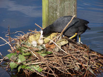 Bird nesting. In a park pond stock image