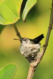 Hummingbird nesting in tree Stock Photo