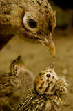Bird and nestling royalty free stock image