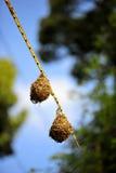 Bird nests 1. Bird nests on a branch Royalty Free Stock Photos