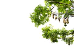 Free Bird Nests Hanging On Tree Branches, On White Background With Co Stock Photography - 126189932