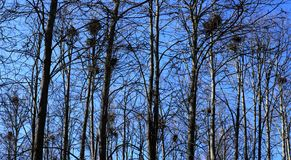 The bird nests on the tops of trees. A lot of crows nests on the trees in spring park Royalty Free Stock Photography