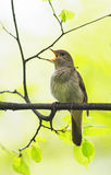 Bird Nightingale sing loudly in spring forest. Bird Nightingale sing loudly in forest stock image