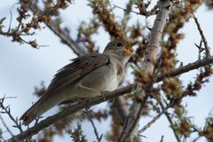 Bird the Nightingale sings in the spring. A common nightingale in the shrub is sitting on a branch. Bird the Nightingale sings in the spring royalty free stock image