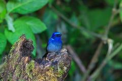 Bird, Niltava Royalty Free Stock Images