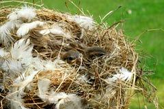 Bird& x27; ninho de s Foto de Stock
