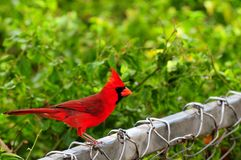 Bird, Northern Cardinal Royalty Free Stock Photography