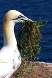 Bird Northern Gannet in Bonaventure Island in Gaspesie, Canada. Building his nest Stock Image
