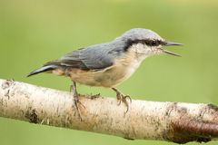 Bird Nuthatch. Stock Photos