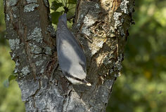 Bird Nuthatch Stock Image