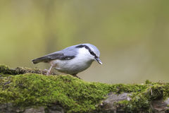 Bird is a nuthatch on a branch with a seed in its beak Stock Image