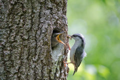Bird Nuthatch feeds hungry nestling by caterpillar. Wild nature scene of spring forest life Royalty Free Stock Images