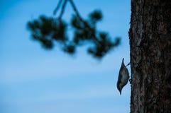 Bird nuthatch on a pine tree Royalty Free Stock Photos