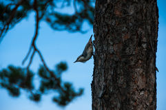 Bird nuthatch on a pine tree Stock Image