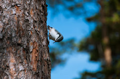 Bird nuthatch on a pine tree Royalty Free Stock Photos