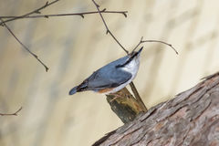 Bird nuthatch. On the trunk of a coniferous tree in the Park Royalty Free Stock Images