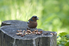 Bird with nuts on a stub Stock Images