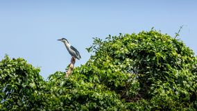 A bird Nycticorax Nycticorax, black-crowned night heron on the trees royalty free stock image