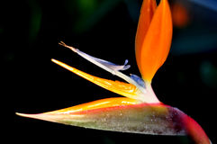 Free Bird Of Paradise Stock Image - 12580801