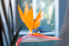 Free Bird Of Paradise Stock Photos - 82966553