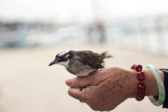 Bird on old woman's hand. Stock Image