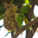 Bird (Olive-backed Sunbird) Royalty Free Stock Images