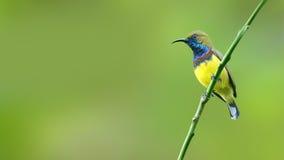 (Bird) Olive-backed Sunbird Royalty Free Stock Photos