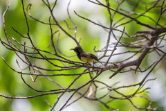 Bird (Olive-backed sunbird) on a tree Royalty Free Stock Photography