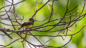Bird (Olive-backed sunbird) on a tree Stock Images