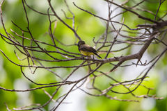 Bird (Olive-backed sunbird) on a tree Royalty Free Stock Image