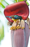 Bird On The Banana Flower Stock Photo