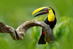 Bird with open bill. Big beak bird Chesnut-mandibled Toucan sitting on the branch in tropical rain with green jungle background. W stock photos