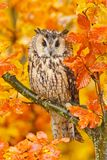Bird in orange forest, yellow leaves. Long-eared Owl with orange oak leaves during autumn. Wildlife scene fro nature, Sweden. Anim. Bird in orange forest, yellow stock photography