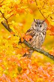 Bird in orange forest, yellow leaves. Long-eared Owl with orange oak leaves during autumn. Wildlife scene fro nature, Sweden. Royalty Free Stock Photos